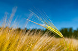 Single stalk of wheat