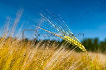 Single stalk of wheat