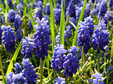 blue muscari flowers
