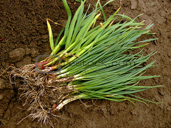 green onion and garlic