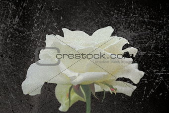 abstract view of white rose