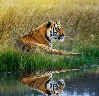 Tiger  On Grassy Bank With Reflection