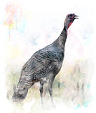 Watercolor Image Of  Turkey Bird