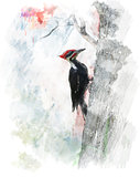 Watercolor Image Of  Pileated Woodpecker (Dryocopus pileatus)