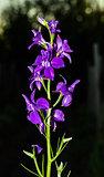 flowers delphinium