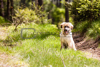 Leonberger dog puppy