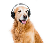 retriever with headphones