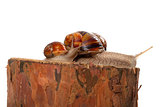 Family of snails on pine tree stump