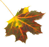 Multicolor autumn maple leaf