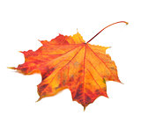 Red autumn maple-leaf