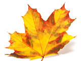 Yellowed autumn maple-leaf on white background