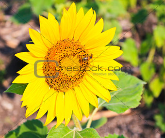 Bright yellow sunflower with bee