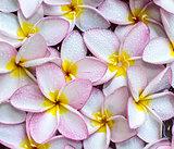 Frangipani flowers