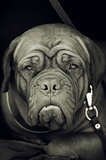 black and white photo of an English Mastiff