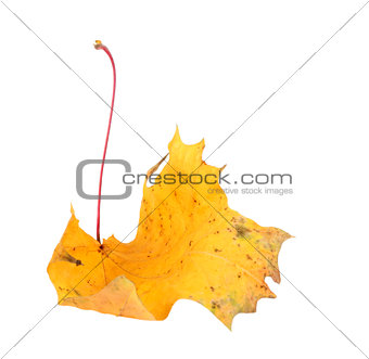 Yellow maple-leaf