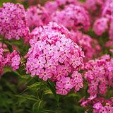 Phlox Flower