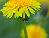 Beetle on flower of dandelion