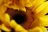 Birth of a Sunflower