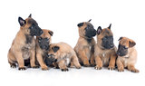 puppies malinois