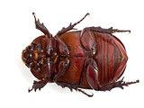 bib beetle