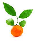 Ripe fresh mandarin
