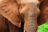 Closeup portrait of African elephant