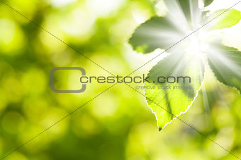 Abstract summer light with green leaves