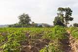 Cassava or Manioc field