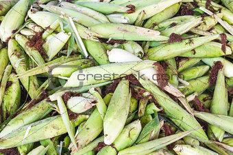 Fresh corn with husk