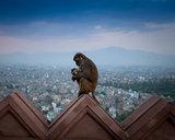 Kathmandu Monkeys