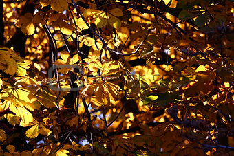 Background chestnut yellow foliage