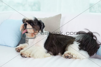 Shih-tzu on sofa