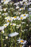 Close up image of wild daisy flowers in wildflower meadow landsc