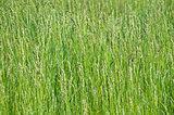 Weed sorghum