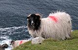 The Black Face Mountain Sheep