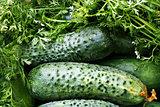 Ripe cucumber