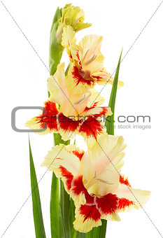 Beautiful fresh gladiolus isolated