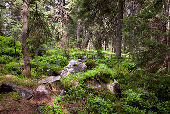 Old forest in the mountain -   stones, moss and pine trees.