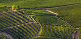 Green vineyards on the hills in Italy.