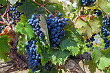 Ripe clusters of dark blue grapes.