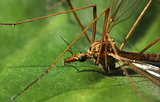 Crane fly close-up