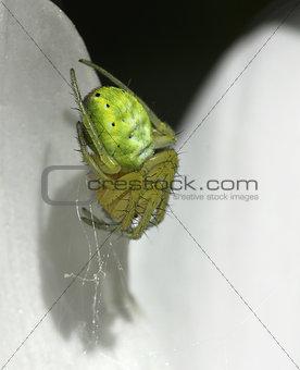 Green spider lurking