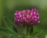 Red clover close-up
