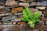 Fern on stones