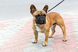 domestic dog French Bulldog breed