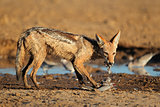 Black-backed Jackal eating dove