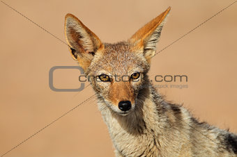 Black-backed Jackal portrait