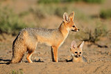 Cape foxes