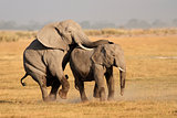 Mating African elephants
