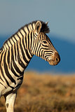 Plains Zebra portrait